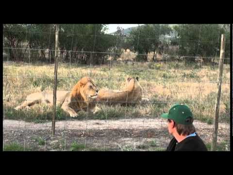 Animal Communication Training With Lions In South Africa