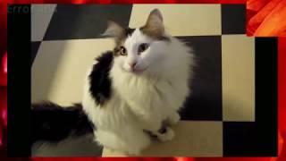 Кошки и коты разговаривают, смех, приколы 2018 #3