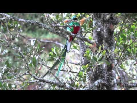 Resplendent Quetzal Calling