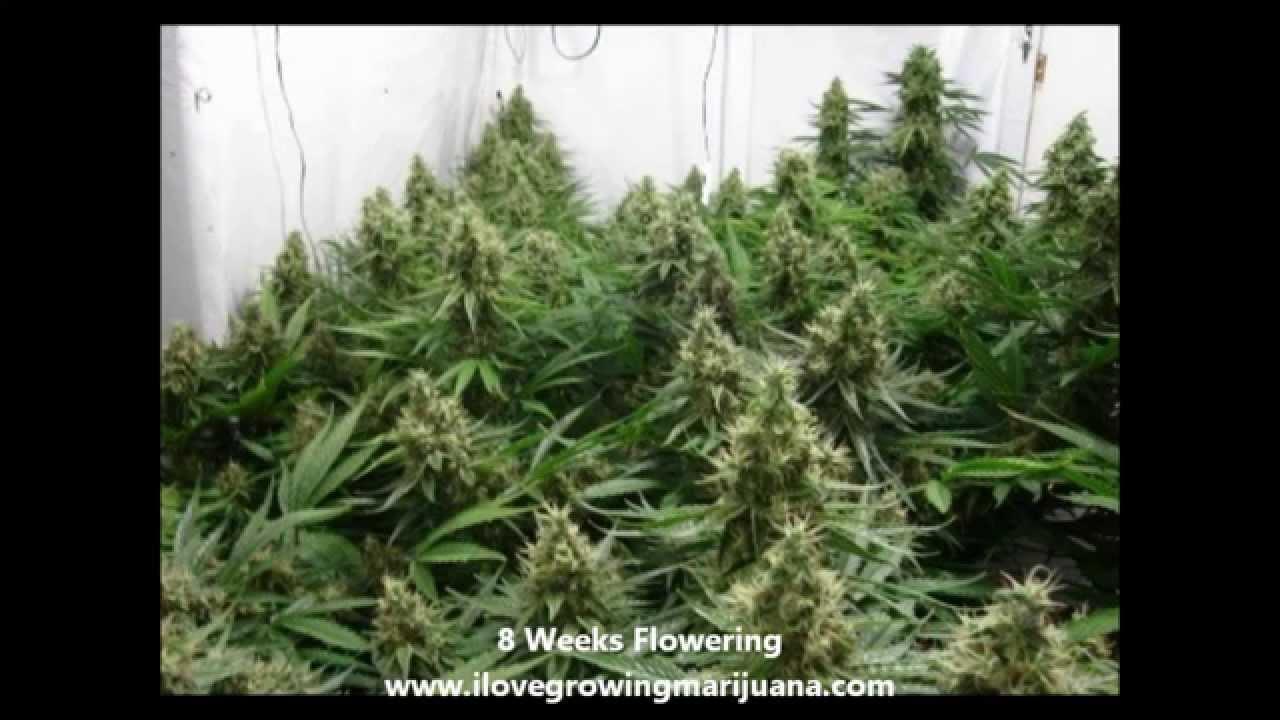 & Scrogging Marijuana Plants in 5 Steps - YouTube