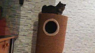 Французские бульдоги Охота на кошку