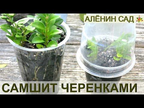 Вопрос: Как посадить самшит?