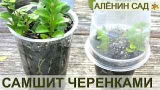 Как размножать САМШИТ / Размножение самшита черенками
