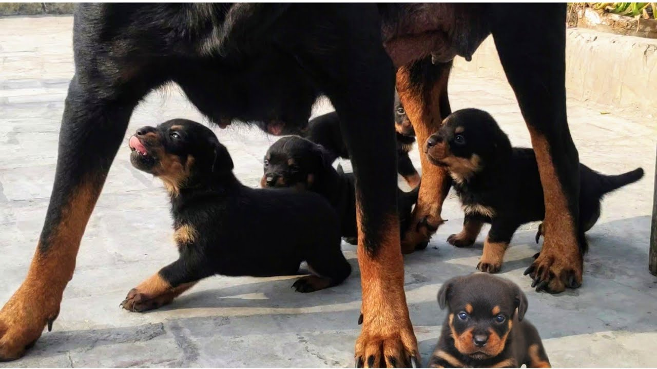 Puppies Attacked On Roxy😳|| Chhat Pr Fun || Roxy Ke Puppies || Review reloaded || Rottweiler Puppies