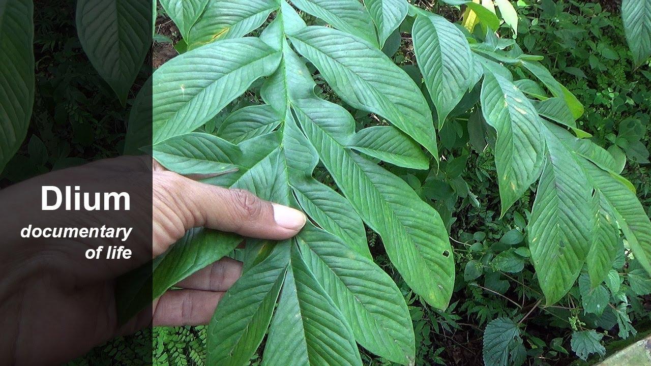 Elephant Foot Yam Amorphophallus Paeoniifolius Youtube