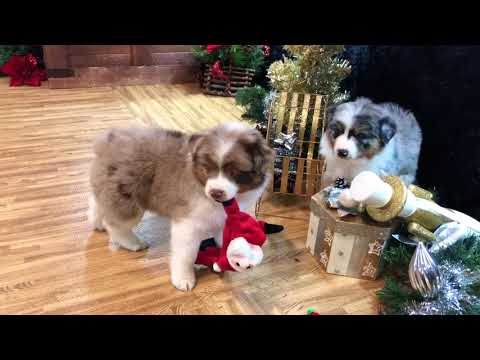 Miniature Aussie Christmas puppy| Delta RMF| COLOR COUNTRY AUSSIES