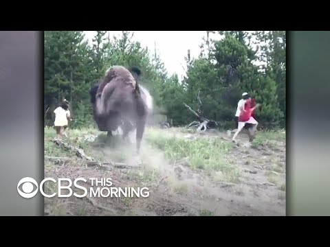 WATCH: Bison charges 9-year-old girl at Yellowstone National Park
