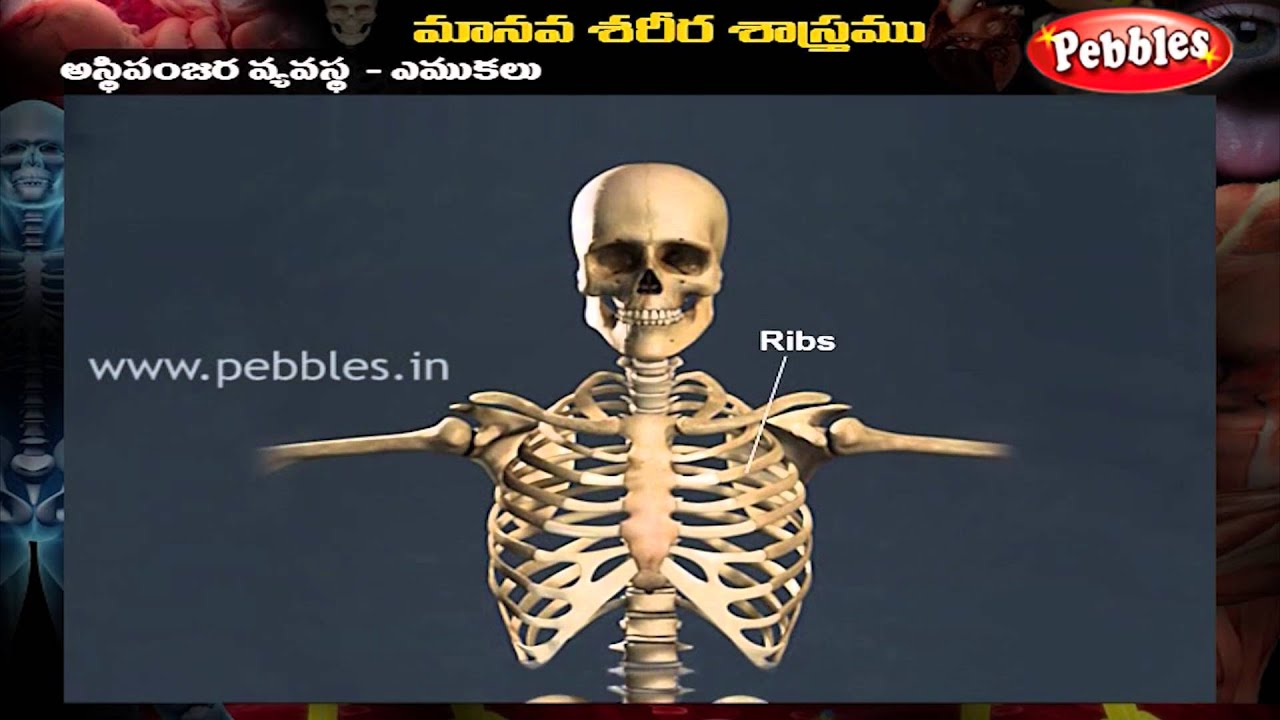 Human Body Skeletal System Telugu Youtube