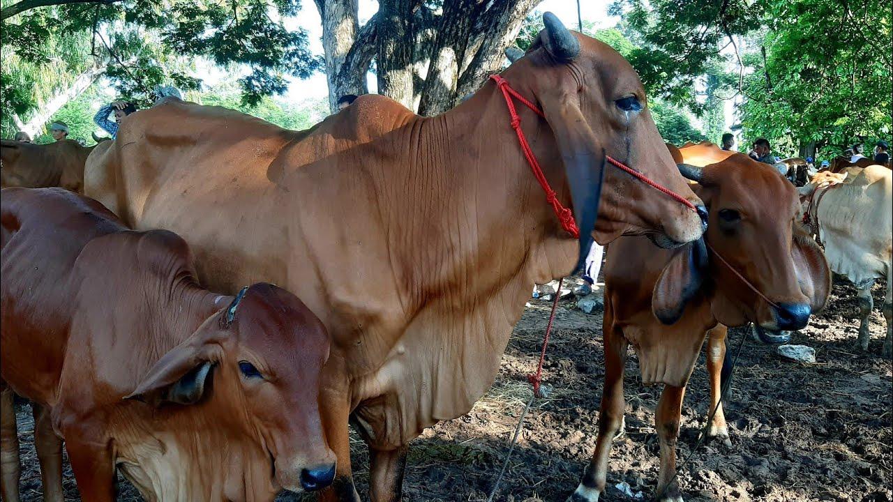 ราคาวัววันนี้8ส.ค.63(แม่ลูกสวยๆ):ตลาดวัวร้อยเอ็ด