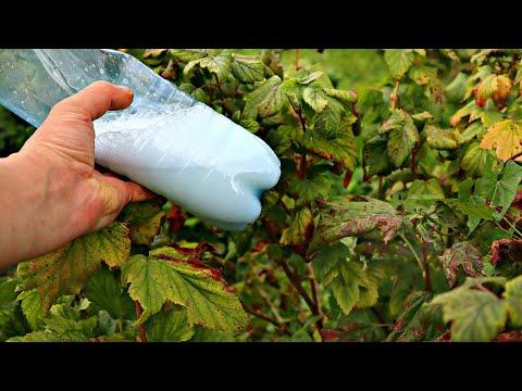 В октябре сосед всегда опрыскивает смородину этим Видели бы вы его ягоду! Крупная без единой болячки