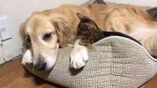 ゴールデンレトリバーのカリブと、ベンガル猫のテトの日常。 飼い主的に...