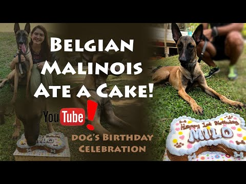 DOG EATS CAKE! | BELGIAN MALINOIS  | Puppy's BIRTHDAY celebration | Dog JOHN WICK |Superdog Milo #05