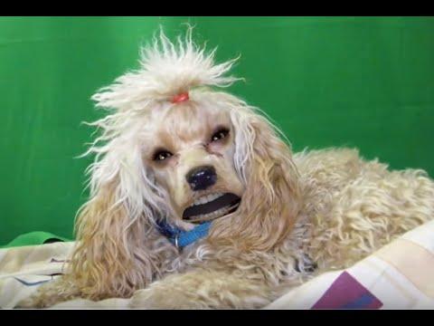 Купить собаку или щенка в зоомагазине ивано-франковска: большой выбор. Чихуахуа (27). Доставка в ивано-франковск из днепра (днепропетровск).