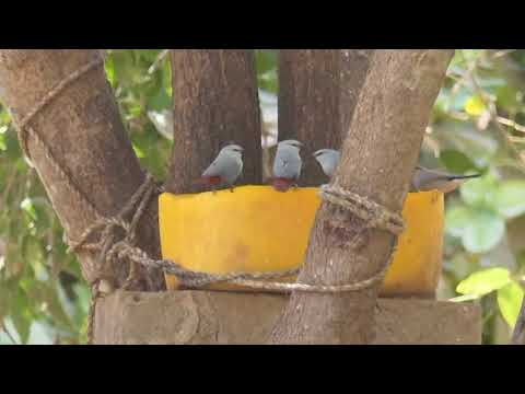 vogels in gambia dvd movie