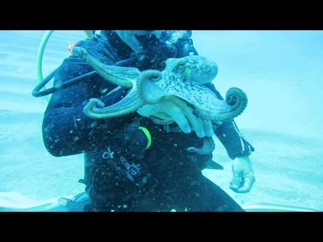 Scuba Diver Plays With Octopus – 985119