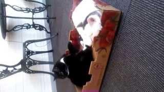 去年のゴールデンウィークの猫家川越店のひとこまです。 熊五郎くんのしっぽで遊ぶコボちゃんが可愛くてそして、こちらに目線をくれながら遊...