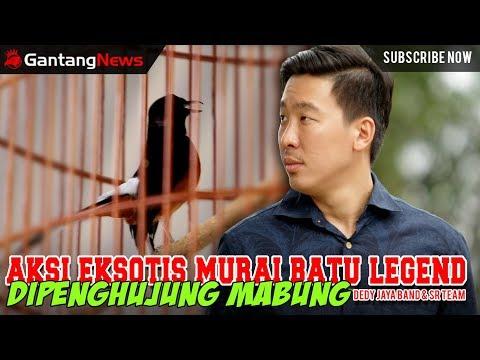 AKSI EKSOTIS MURAI BATU LEGEND DIPENGHUJUNG MABUNG - DEDY JAYA BAN & SR TEAM