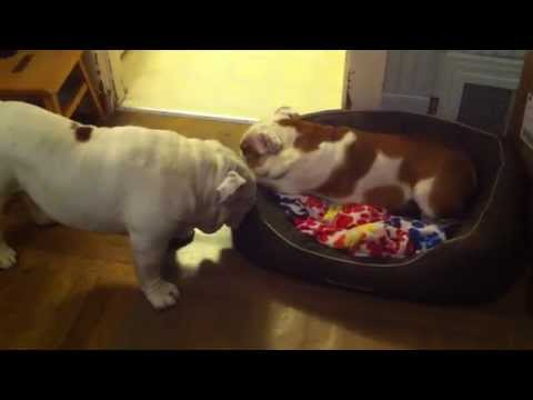 Cry-Baby Gabe the Bulldog Wants HIS Bed!
