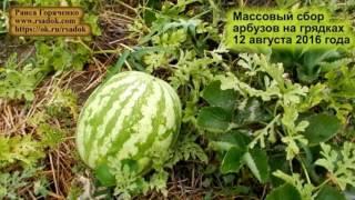 видео Сбор арбузов | Калининские сады