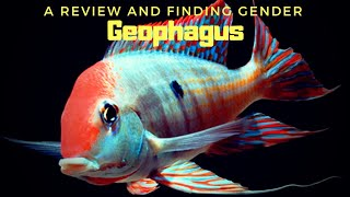 The Most Beautiful and Peaceful Cichlid ever... Geophagus