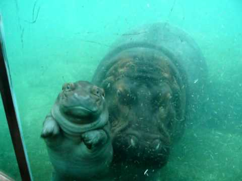 Cute Baby Hippo at San Diego Zoo