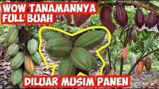 Download Lagu Kebun Kakao Berbuah Banyak | Semua Tanaman dipenuhi Buah | Kebun Kakao Terbaik | Buah kakao Sehat mp3