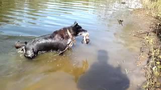 Собака для охоты. В память моей собаке посвящается.