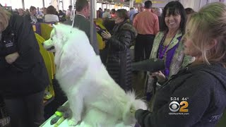Backstage At The Westminster Kennel Club Dog Show