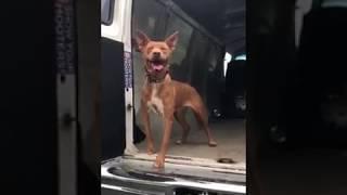 2〜3才位 女の子 猟犬多頭飼育崩壊から神奈川県動物保護センターに収容 ...