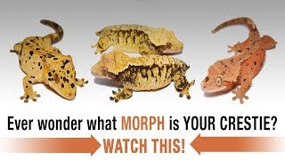 The COMPLETE Guide to Crested Gecko Morphs! Part 1