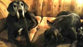 Puppies For Sale! Deutsche Dogge Welpen Zu Verkaufen!