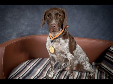 Pongo - German Shorthaired Pointer - 4 Weeks Residential Dog Training