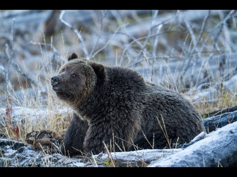 Photography Bears In Yellowstone Park