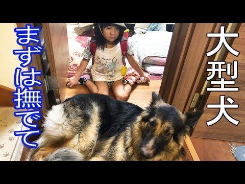 お帰り!甘えるシェーパード犬と孫娘の日常風景
