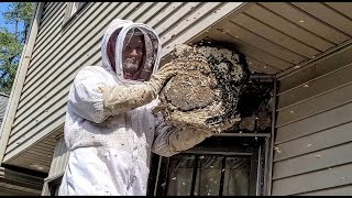 SUPER NEST! Yellow Jackets MASSIVE nest inside ceiling | INFESTATION | Wasp Nest Removal