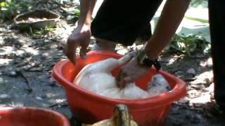 bolivia adan pelando jochis y armadillo en shinahota chapare