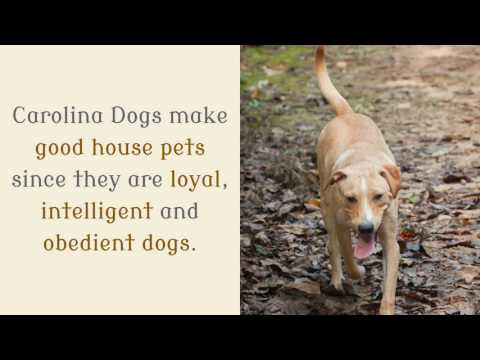 17 Facts You Should Know About Carolina Dog