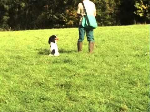 English Springer Spaniel Gundog For Sale.