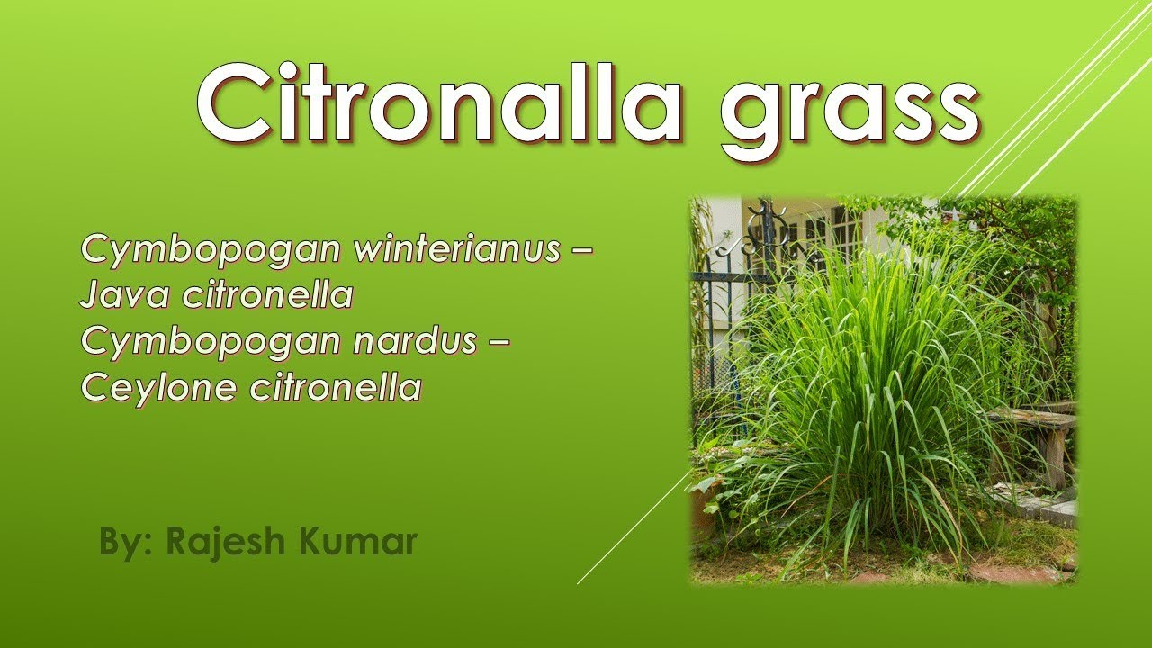How To Grow Citronella Grass Youtube