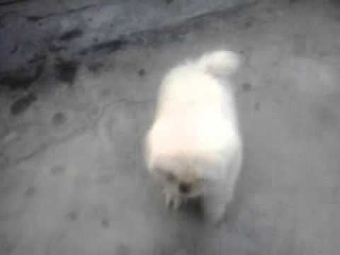Pekingese Puppies For Sale Online 9899990099 Noida Olx Just Dial