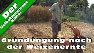 Gruenduengung nach der Weizenernte