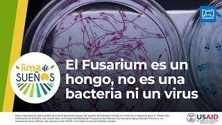 El Fusarium es un hongo, no es una bacteria ni un virus