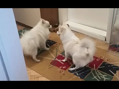 The First Date - (Klein) German Spitz