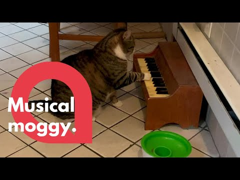 Cat plays piano to tell his owners' when he's hungry | SWNS