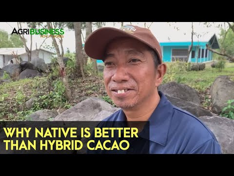 CACAO FARMING techniques - Advantages of native varieties   Agribusiness How It Works