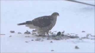 Хищная птица есть голубя в Нижегородской области