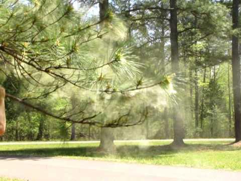 Loblolly pine pollen, 12 Apr 2010, CHCH