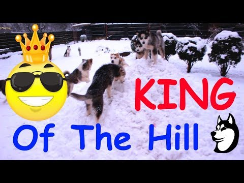 The Husky Family:  Playing KING Of The Hill (17 Weeks Old)