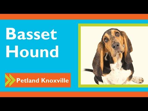 Bassethound Fun Facts