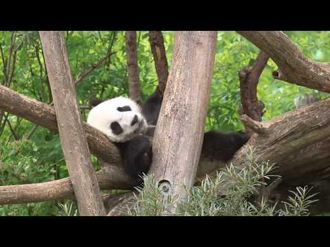 Panda-Zwillinge im Juni 2017   Tiergarten Schönbrunn